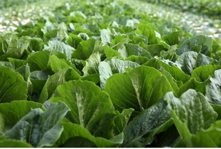 Rabbinate Busts Fake Kosher Greens Ring